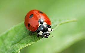 Ladybirds - PreventaPest Limited