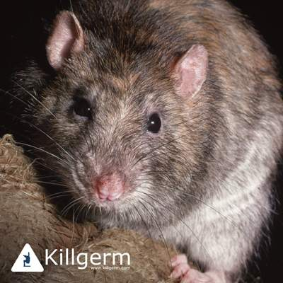 Rodents and Others - PreventaPest Limited